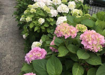 Blühende Hortensien vor der Haustüre